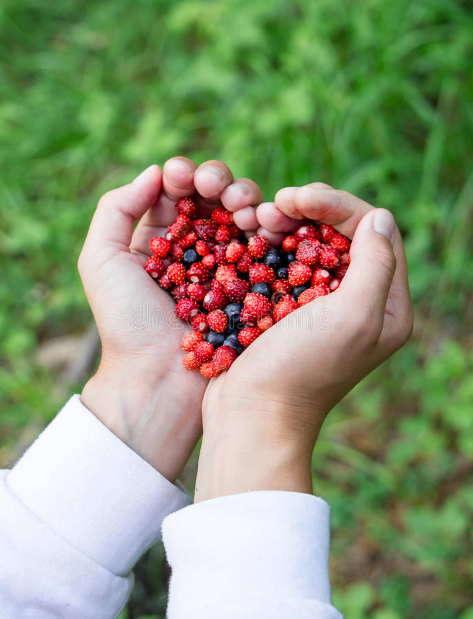 Woman hands holding handful ripe fresh forest berries in heart shape. Blueberry and wild strawberry in human palm. Closeuo of Woman hands holding handful ripe stock photos