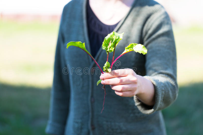 Woman hands with just picked beetroot royalty free stock photos