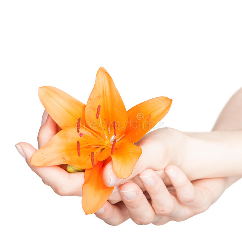 Woman hands and lily flower royalty free stock photo