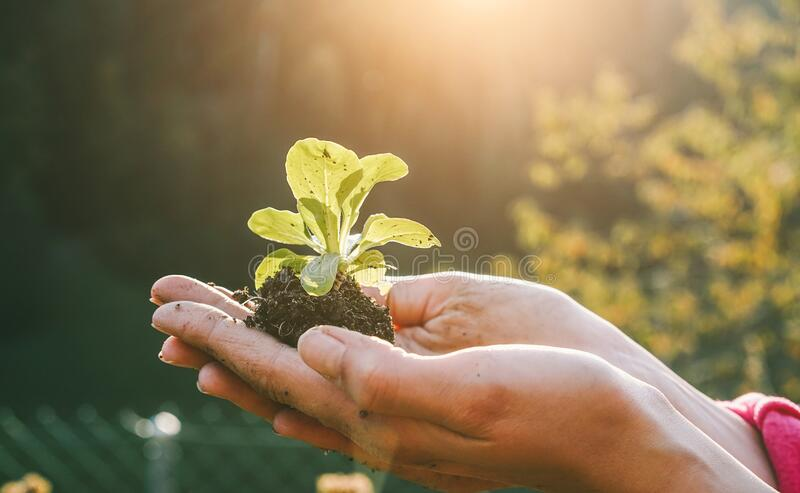 Woman hands planting a seed during sunny day in backyard garden - Girl gardening at sunset in spring time - Focus on plant -. Nature, lifestyle, green thumb and stock photography
