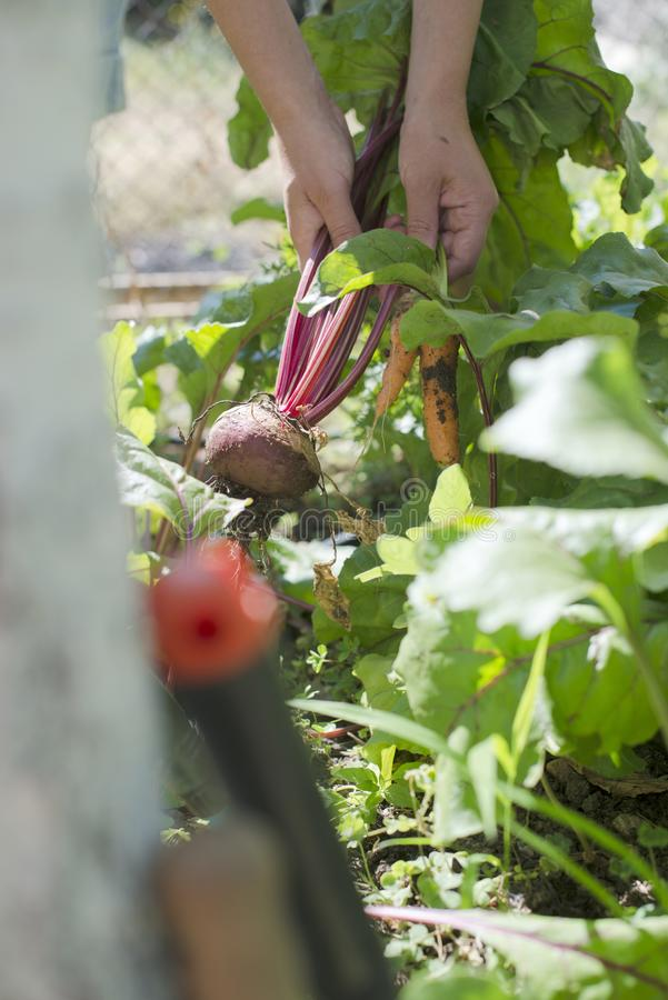 Harvest carrots and beetroot in the garden stock image