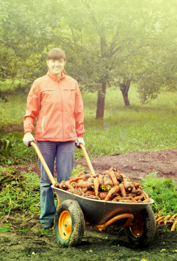 Woman with harvested carrots royalty free stock photo