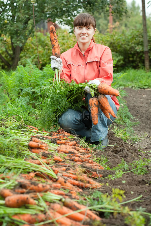 Woman harvesting carrots stock photography