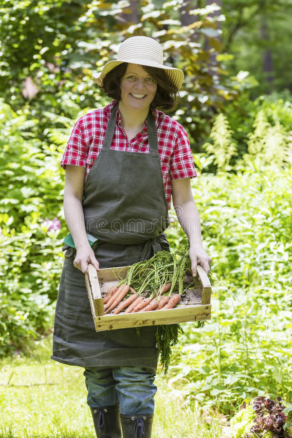 Woman harvesting carrots royalty free stock photography