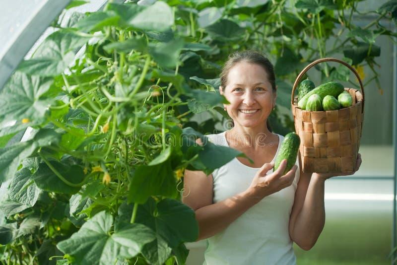 Woman harvesting cucumbers royalty free stock photo