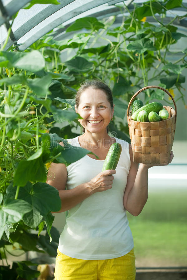 Woman harvesting cucumbers royalty free stock photo