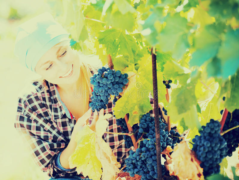 Woman harvesting grape in farm royalty free stock images