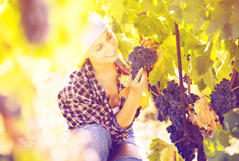 Woman harvesting grape in farm royalty free stock image