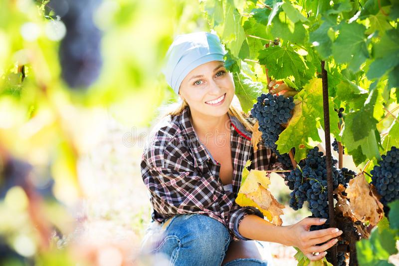 Woman harvesting grape in farm stock image