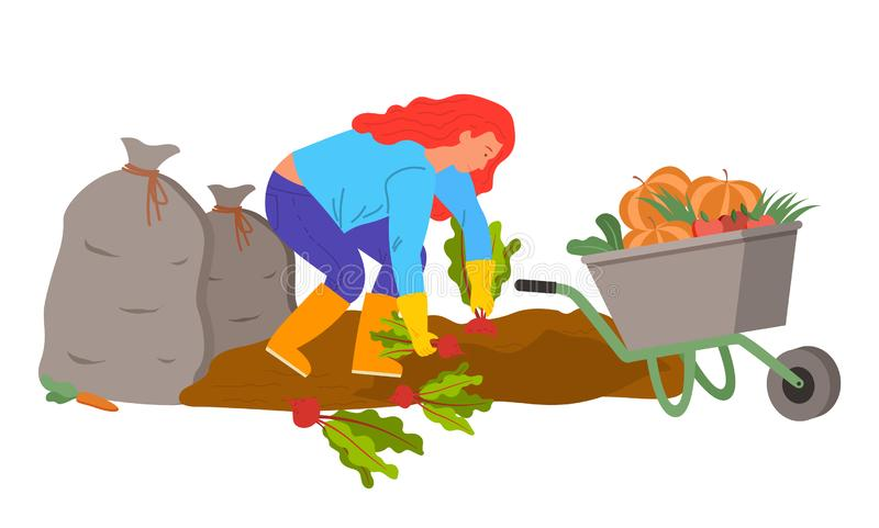 Woman Harvesting on Plantation, Beetroots Plants. Woman working on field with beetroots vector, farmer harvesting. Bags with harvested and gathered products vector illustration