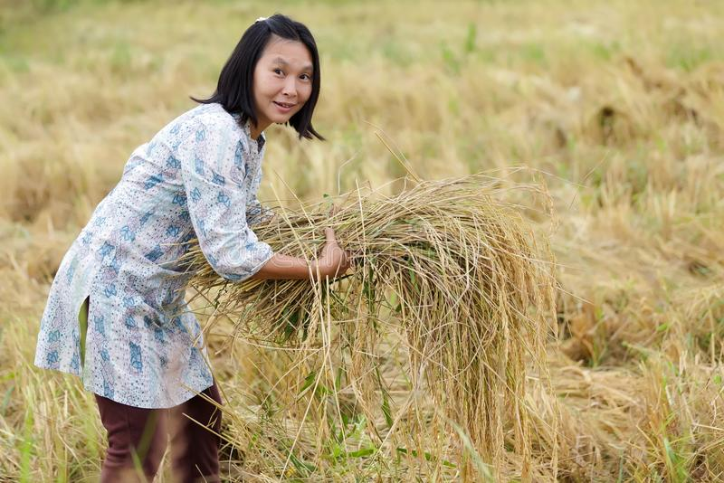Download Woman harvesting rice stock photo. Image of paddy, harvesting - 28710036