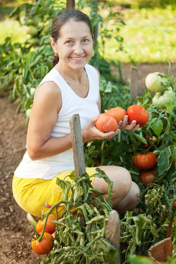 Woman harvesting tomatoes stock photo