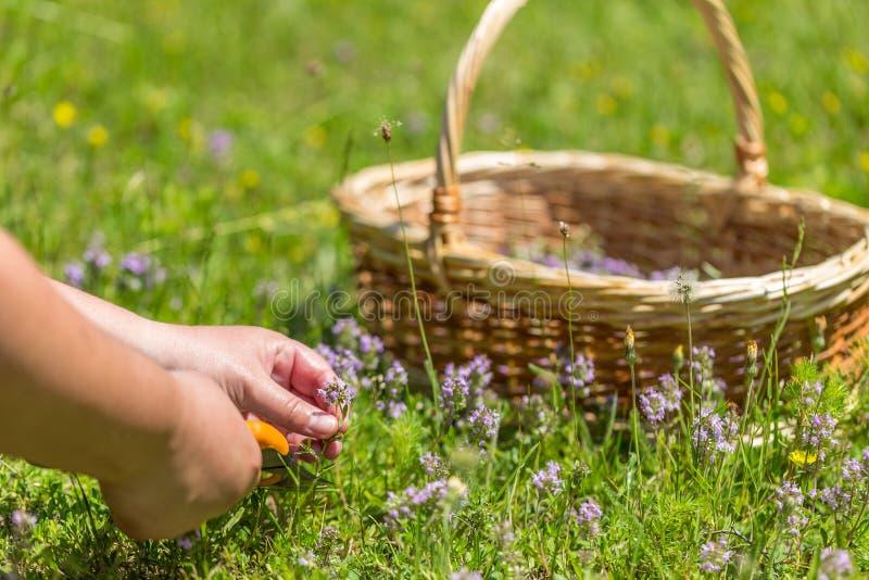 Woman herbalist stock image