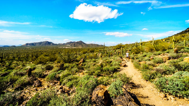 Woman hiking through the semi desert landscape of Usery Mountain Regional Park with many Saguaru, Cholla and Barrel Cacti royalty free stock photos