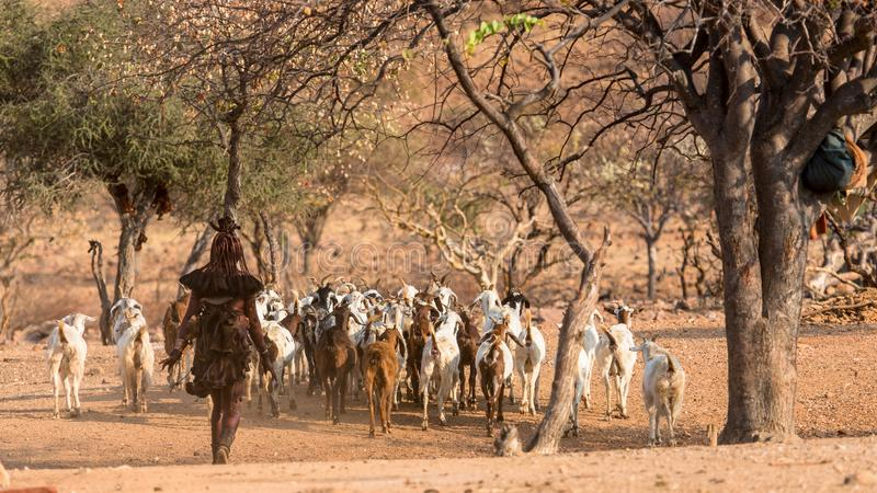 A woman from the Himba tribe leads the goat herd to the fields, Epupa falls, Namibia stock image