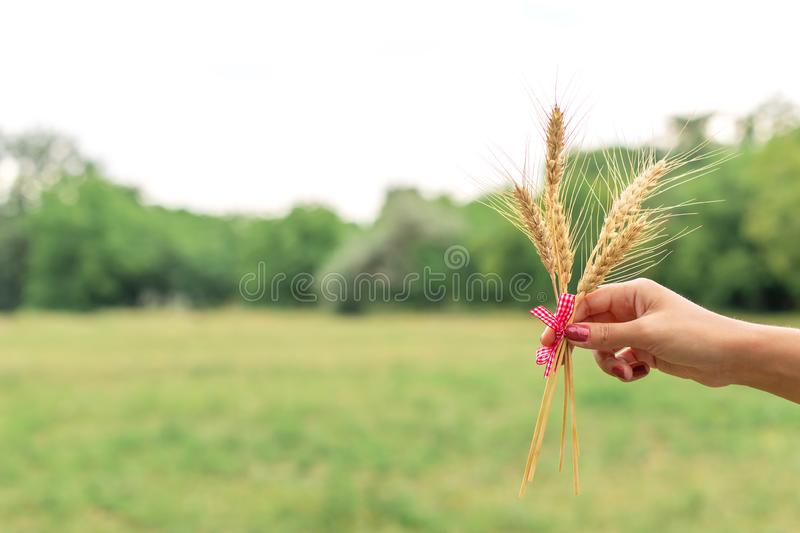 Woman hold wheat ear in hands at green lawn stock photo