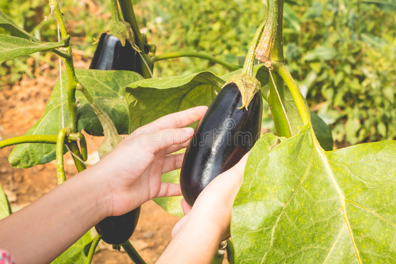 Woman holding an aubergine after picking, close-up. Woman holding an aubergine after picking in autumn, close-up royalty free stock photos