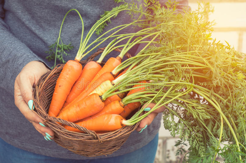 Woman holding a basket of freshly picked carrots. In a carrot field on a farm on a sunny day. Coloring and processing photo with soft focus in instagram style royalty free stock images