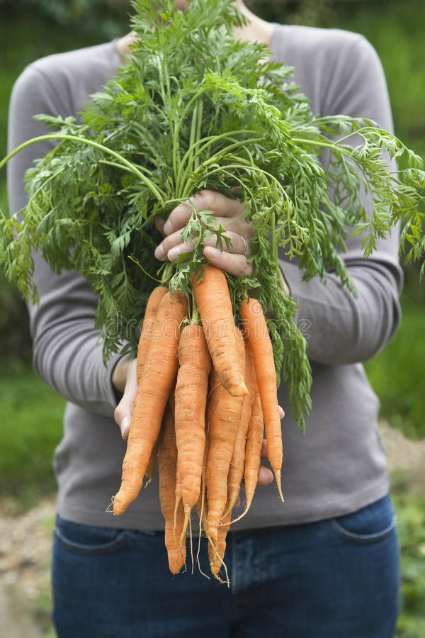 Woman Holding Bunch Of Freshly Harvested Carrots stock photography