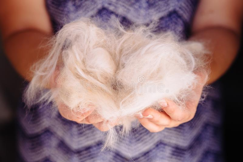 Woman holding a bunch of white cat fur after combing a Ragdoll cat with yellow brush/comb. For cats royalty free stock photo