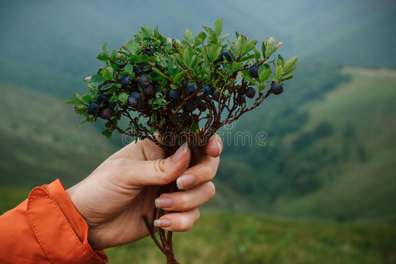 Download Woman Holding Bush Of Berries On Mountain Background Stock Photo - Image: 83704956
