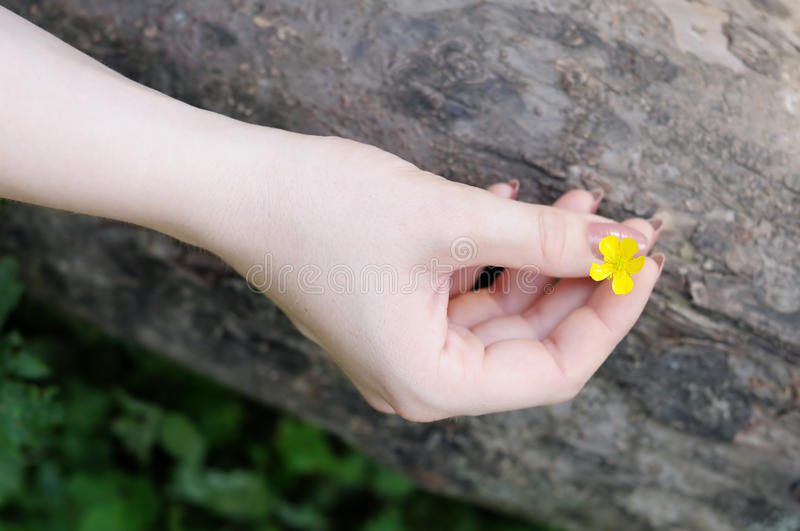 Woman holding buttercup in her hand stock photo