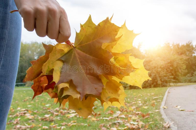 A woman holding colorful maple leaves in hand in sunny autumn park during indian summer royalty free stock photos