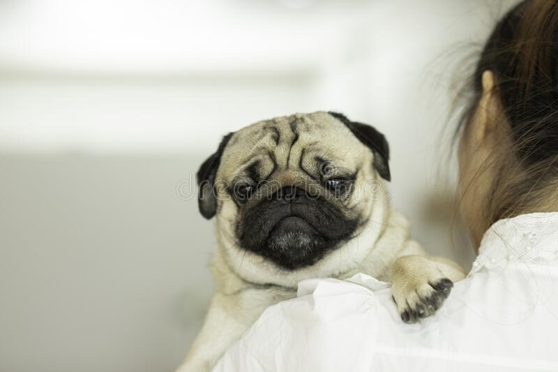 Woman holding cute dog pug. On her shoulder smile with happiness and cheerful royalty free stock photos