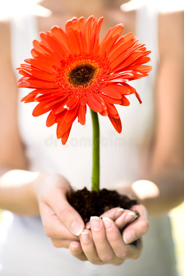 Woman holding flower in dirt stock photography