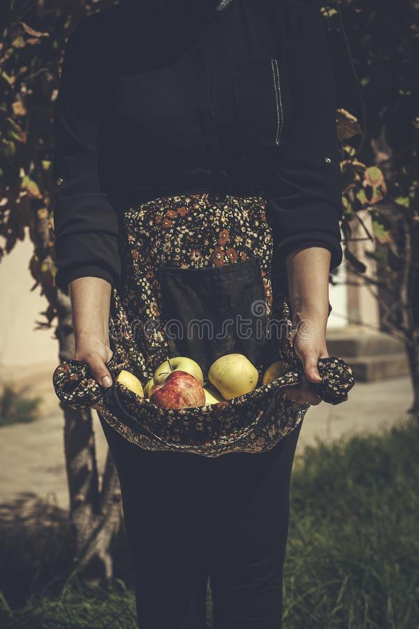 Woman holding freshly picked autumn apples. Harvesting season, Apple garden. Farmer woman picked apple fruits royalty free stock photography