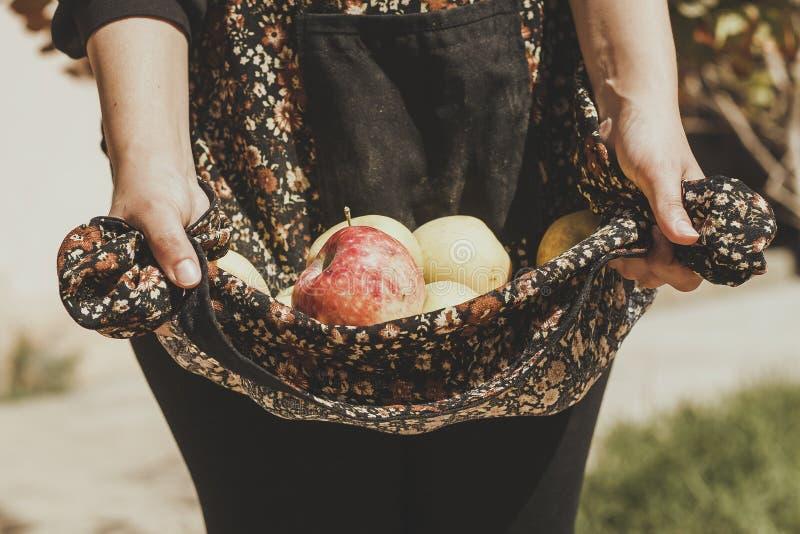 Woman holding freshly picked autumn apples. Harvesting season, Apple garden. Farmer woman picked apple fruits royalty free stock photos
