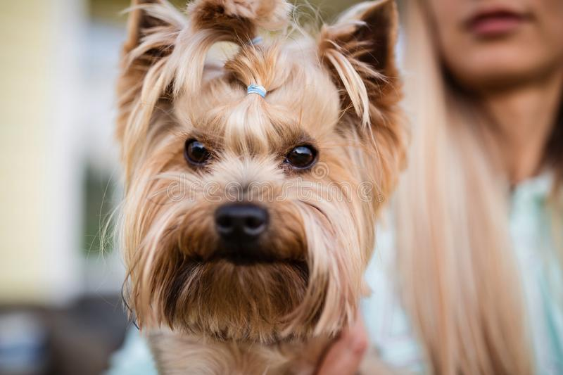 Woman holding hand a cute yorkshire terrier. Dog face closeup. Photo for veterinary, groomer and dog lover. Woman holding hand a cute yorkshire terrier. Dog face royalty free stock photography