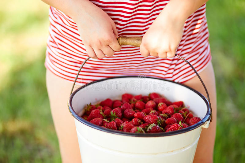Woman holding hands in a bucket full of fresh strawberries royalty free stock photo
