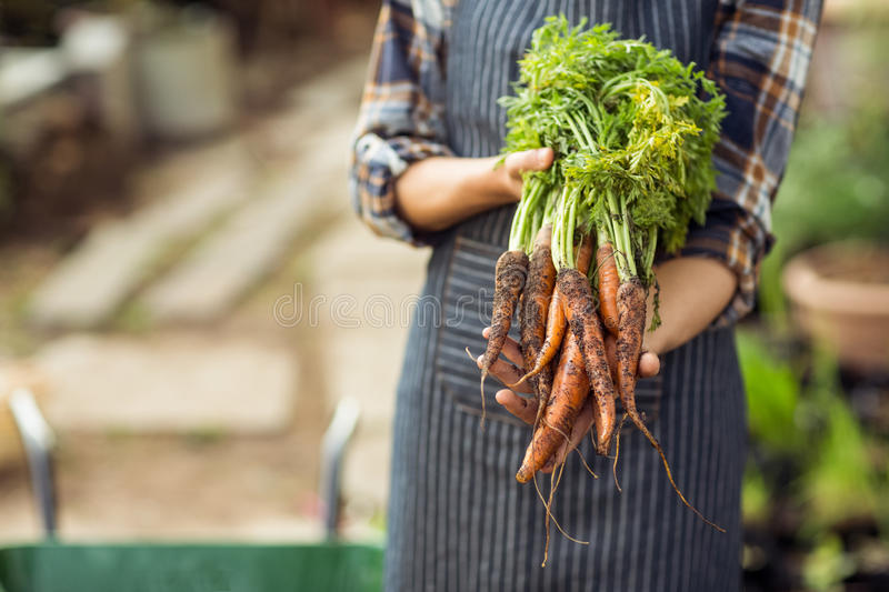 Woman holding harvested carrots at greenhouse royalty free stock photo