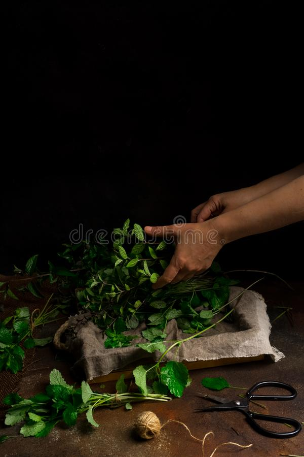 Woman holding heap of freshly cut mint on dark background. Low key image, vertical orientation, with copy space. Woman`s hands holding heap of freshly cut mint stock image