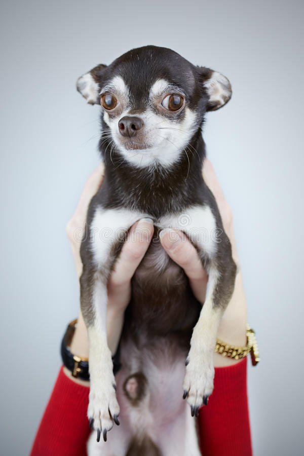 Woman holding her chihuahua dog isolated on grey background royalty free stock image