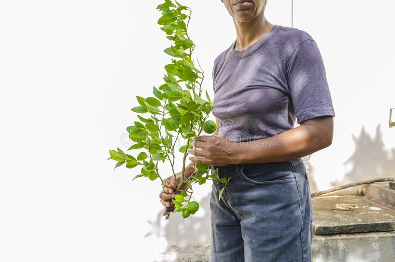 Woman Holding A Key Lime Plant. A woman is holding an isolated and severed branch of a key lime tree with lush green leaves, unripe limes and its held end royalty free stock images