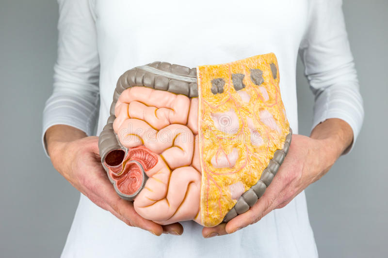 Woman holding model of human intestines in front of body. On white background stock photography