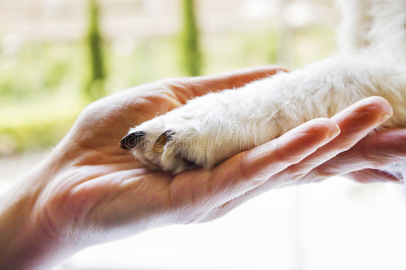 Woman holding puppy's paw. Woman holding a white mixed race puppy's paw stock photography
