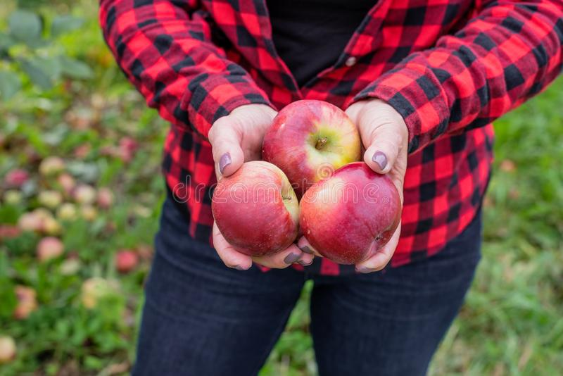 Woman holding red apples in hands stock image