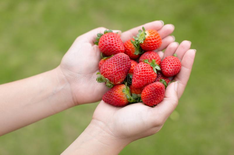 A woman holding red strawberries stock photos