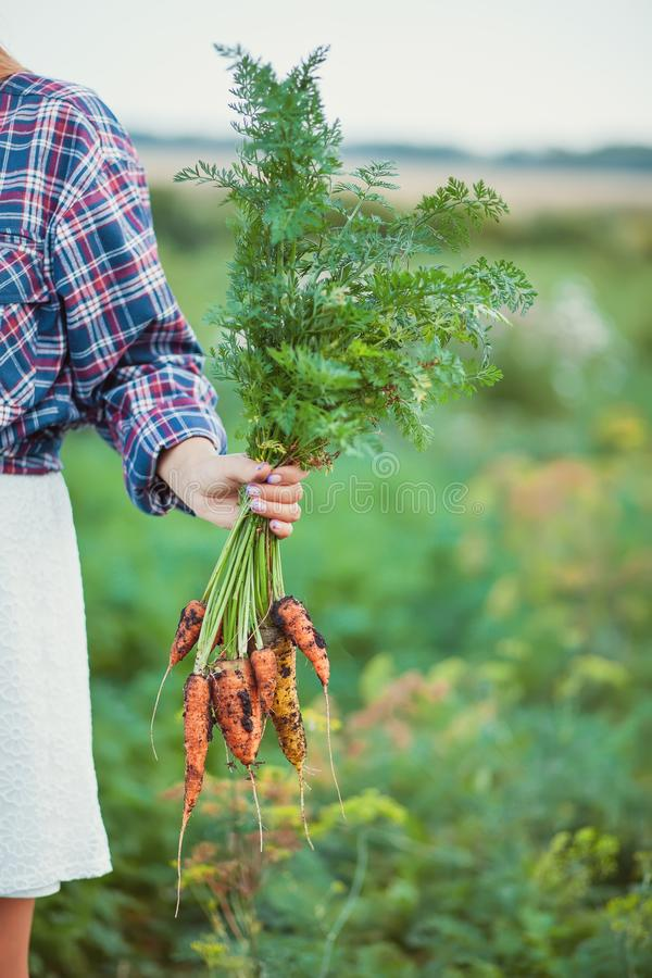 Woman holding a ripe carrots. Local farming, harvesting concept royalty free stock image