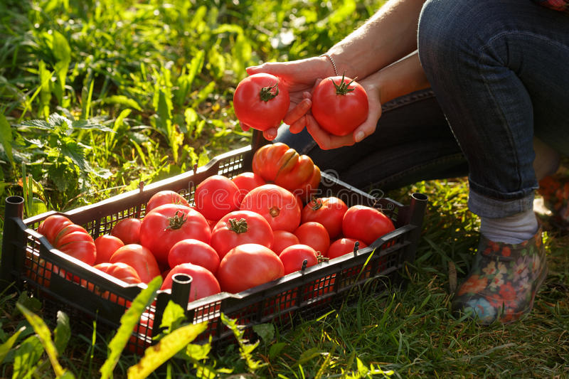 Woman holding a tomato royalty free stock images