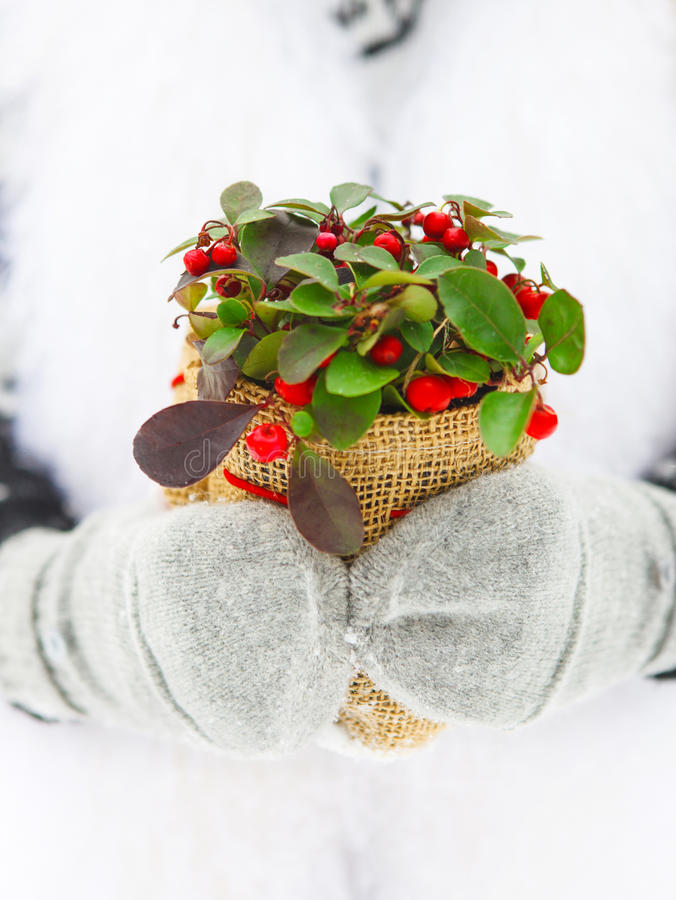 Download Woman Holding Winter Plant In Her Hands Stock Photo - Image: 34351442