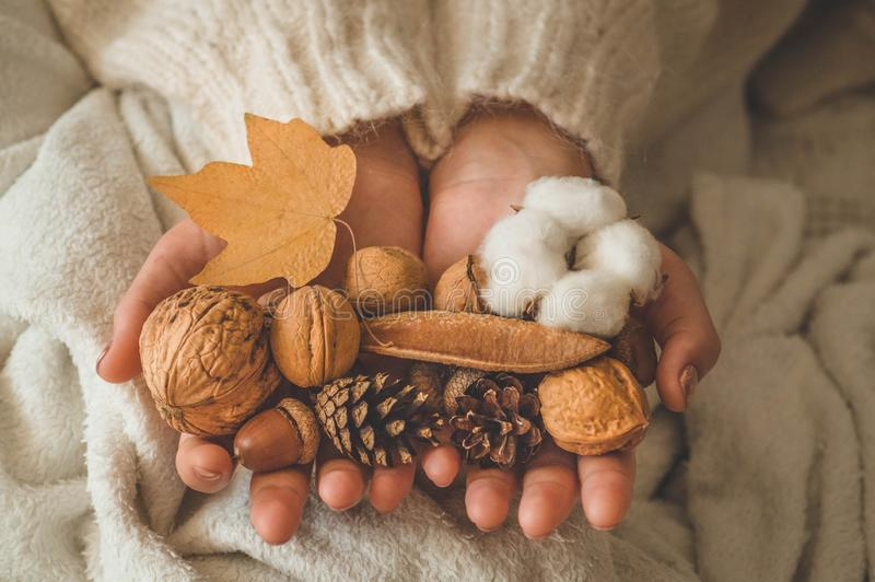 A woman holds in her hands a beautiful fall assortment. Cotton, bump, nut and acorn. royalty free stock image