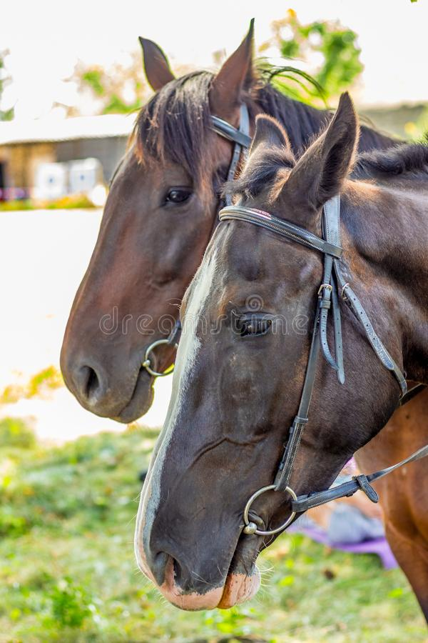 A woman holds a horse`s bridle. Portrait of a horse in profile close-up stock image