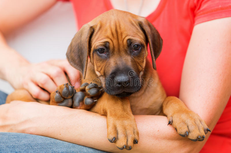Woman holds a Rhodesian Ridgeback puppy in the hands stock images