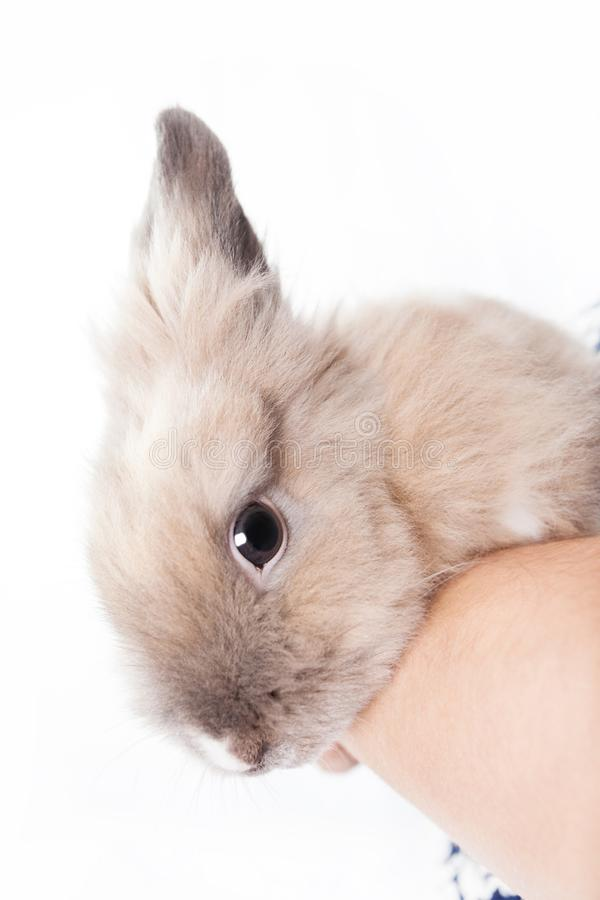 The woman holds a small Dutch rabbit in her hands. Woman holding a small funny dutch rabbit isolated on white background stock photos