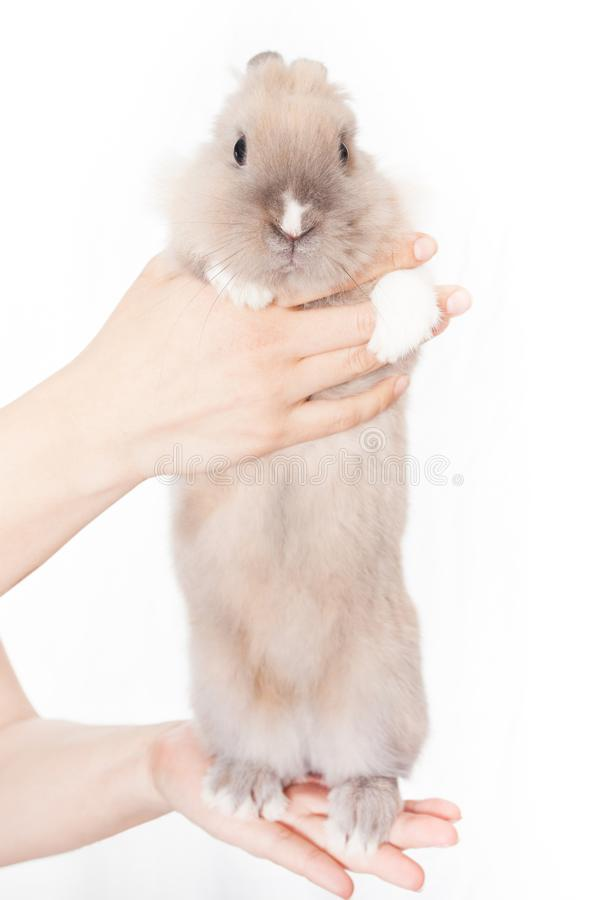 The woman holds a small Dutch rabbit in her hands. Woman holding a small funny dutch rabbit isolated on white background royalty free stock images