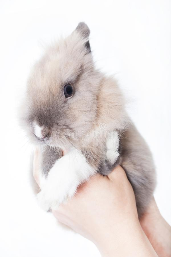 The woman holds a small Dutch rabbit in her hands. Woman holding a small funny dutch rabbit isolated on white background stock photography